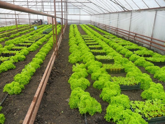 Growing lettuce in a greenhouse in winter